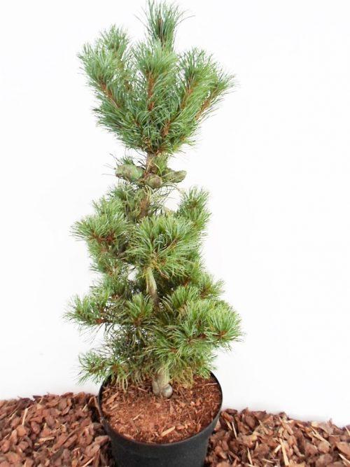 sodinukas Smulkiažiedė pušis Bonsai aukštis 65 cm