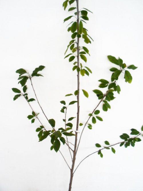 sodinukas Trešnė Ovstuženka aukštis 180 cm