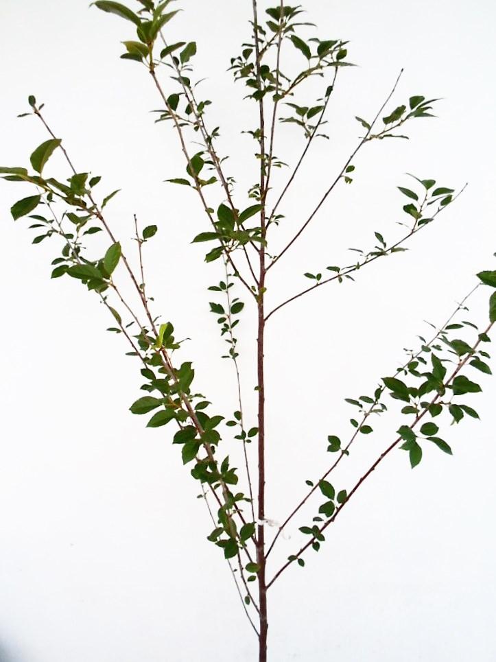 Vyšnia Žagarvyšnė (Prunus cerasus)