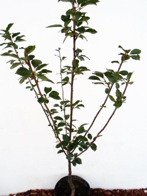 Vyšnia Kelleris (Prunus cerasus)