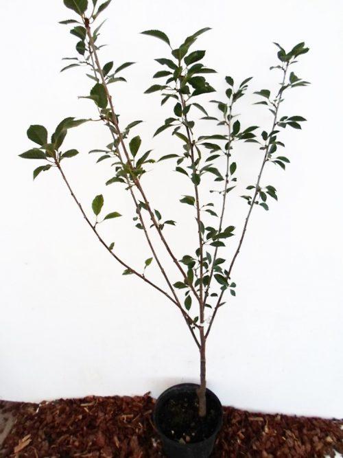 Vyšnia Turgenevka (Prunus cerasus)