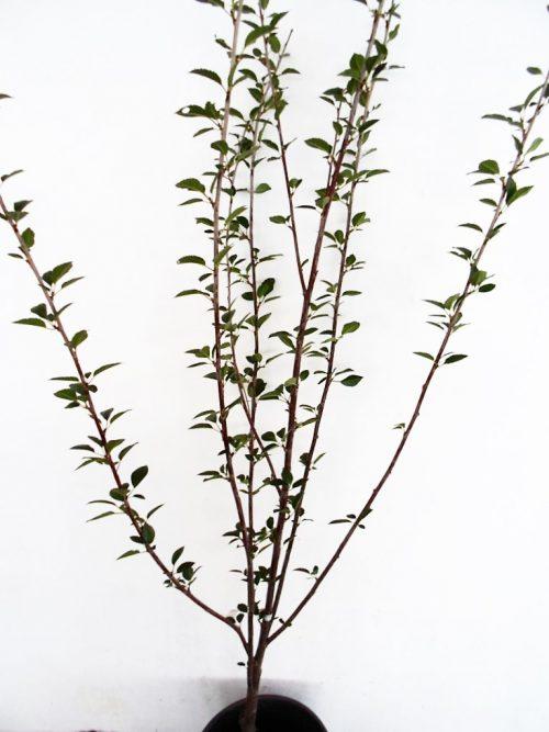 Vyšnia Vytėnų žvaigždė (Prunus cerasus)