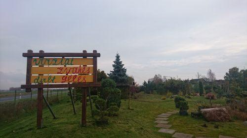 Vakarinė tuja Smaragd aukštis 50 cm, sodinukas vazone