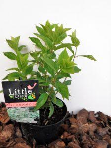 little-lime